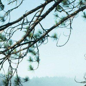 Pycnogenol wordt gewonnen uit de schors van een pijnboom