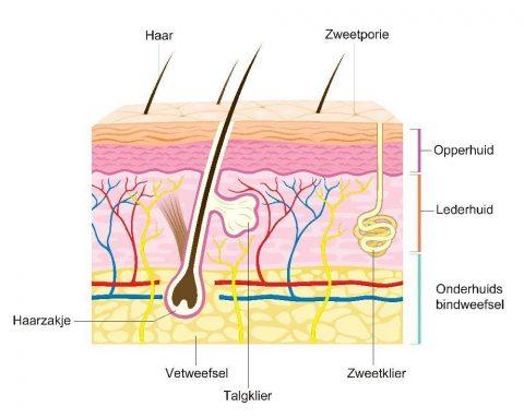Haarzakje anatomie